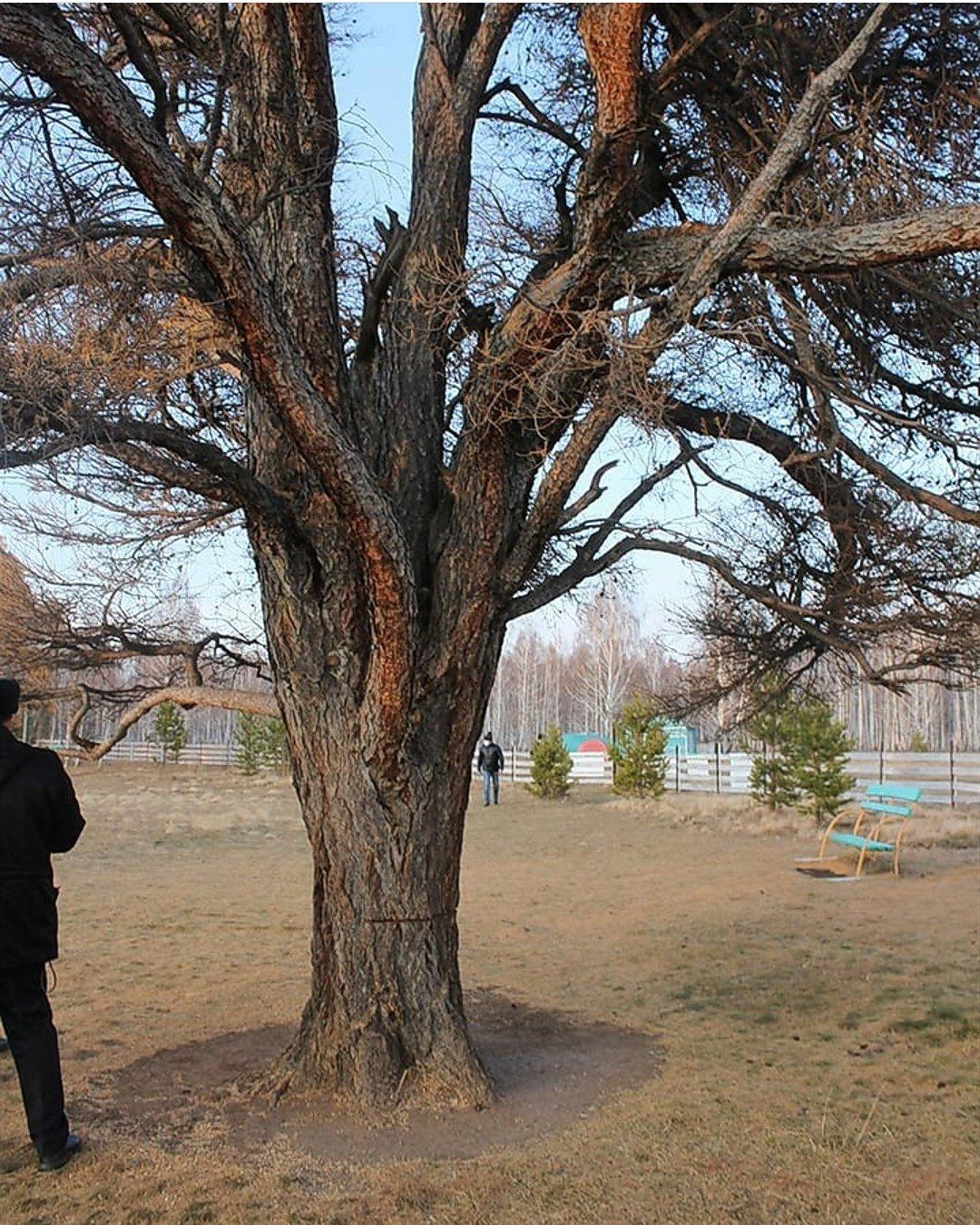 Общественники об уничтожении Кужановских лиственниц: «это варварское явление», фото-1
